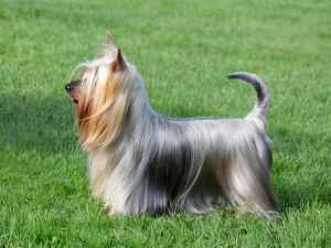 Get to Know the Silky Terrier: One of the Original Designer Dogs