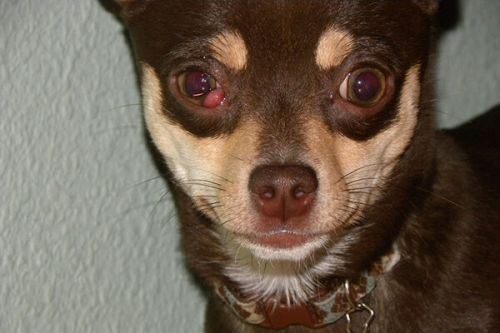 Cherry Eye in Dogs - Prevention and Treatment