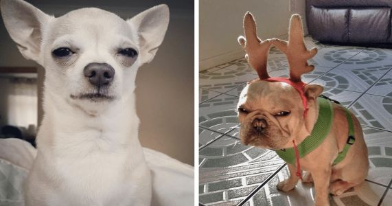 Dogs All Over The World Are Mastering The Disapproving Glare