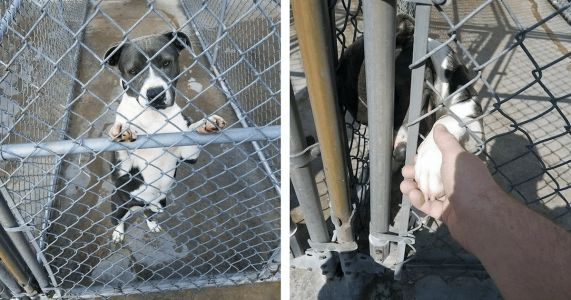 """Family Abandons Pit Bull At Kill Shelter Because She's """"Not A Cute Puppy Anymore"""""""