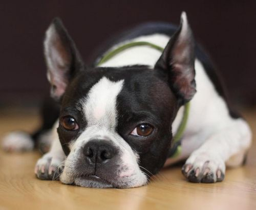 Boston Terrier Breed Information Guide: Quirks, Pictures, Personality & Facts