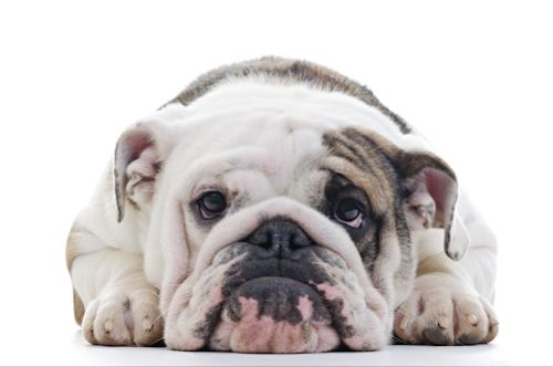 BULLDOGS: hurting even more than we thought