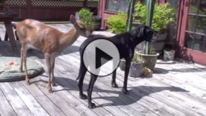 A deer walked into their yard and made best friends with their dog