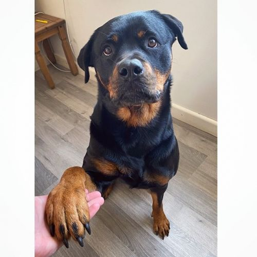 How Long It Takes To Fall In Love With a Rottweiler, Study Reveals