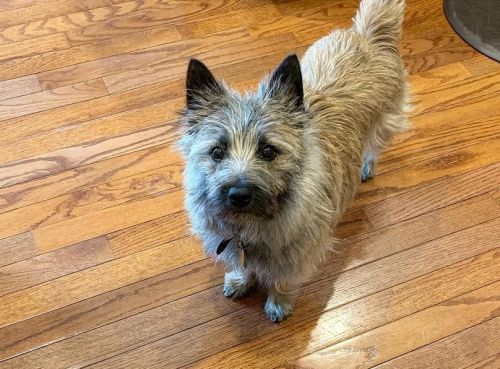 Cairn Terrier Breed Information Guide: Quirks, Pictures, Personality & Facts