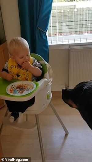 Watch How This Adorable Toddler Giggles When He Was Feeding The Pet Rottie Bronson