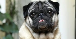 Otis, the Instagram-Famous Pug, Returns Home After Being Dognapped