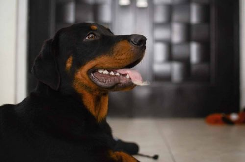 What Are Some Of The Most Common Rottweiler Allergies?