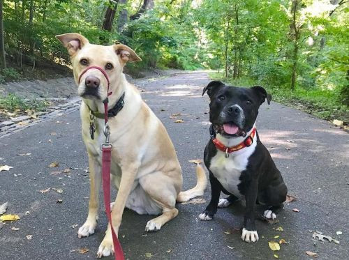 Staffordshire Bull Terrier Breed Information Guide: Quirks, Pictures, Personality & Facts