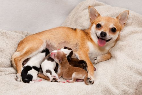 Mastitis in Dogs -Symptoms, Diagnosis and Treatment