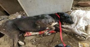 Sanitation Workers Found Dog With Broken Pelvis Abandoned In A Landfill