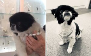 Rescue Dog Is A Natural Model For All The Bling At Owners' Jewelry Shop