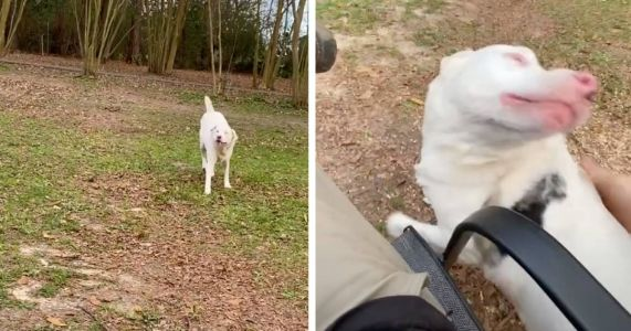 Blind And Deaf Dog Smells Dad, Dances Right To Him