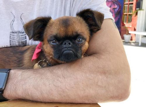 Brussels Griffon Breed Information Guide: Quirks, Pictures, Personality & Facts