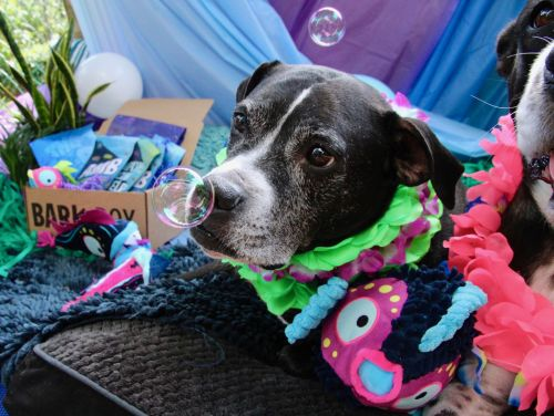 Hedgehogs Mr. Pickles and L'il Monster Have An Epic BarkBoxDay With Their Pittie Brothers