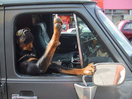 15 Rottweiler Photos Prove They Are Way Cooler Than You!