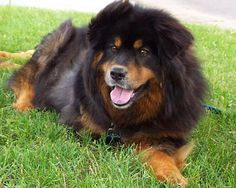Rottweiler and Chow Mix Is An Ideal Companion