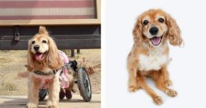 Disabled Cocker Spaniel's Wheelchair Is Stolen During Car Theft
