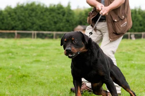 Do You Deal With An Aggressive Rottweiler When They're Taken Outdoors?