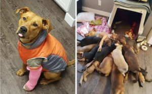 Wounded Foster Dog Delights Rescuers With A Surprise Delivery
