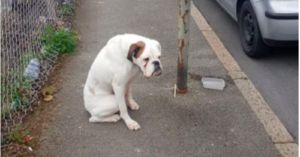 Abandoned Boxer Rescued After Being Found Chained to Lamppost