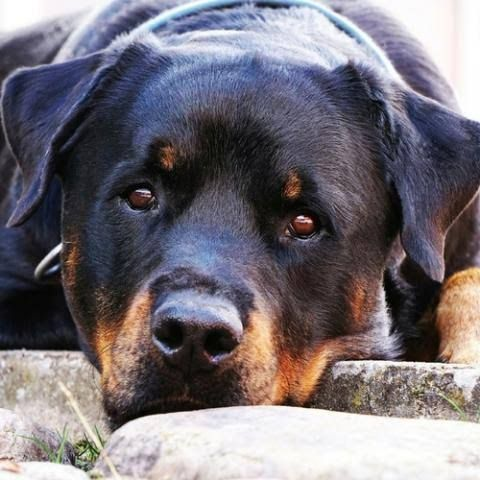What Is The Best Diet For Your Rottweiler?