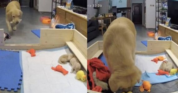 Dutiful Mama Dog Brings Crying Babies Her Favorite Toys