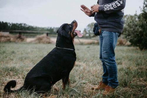 Start Training Your Baby Rottweiler Puppies Early!