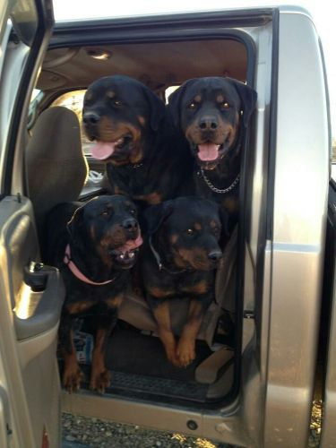 Remember These 4 Things Before You Hit the Road With Your Rottweiler
