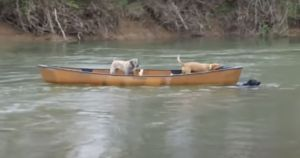Labrador Retriever Jumps Into Action When He Sees His Friends Drifting Away