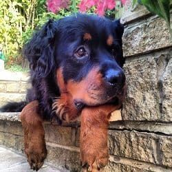 Is It Okay To Get A Long-Haired Rottweiler?