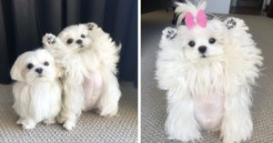 Coco The Therapy Dog Loves Posing In Unique Ways
