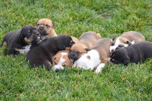 Taking Proper Care Of Pitbull And Rottweiler Puppies