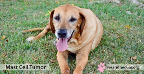 How Common are Mast Cell Tumors in dogs?
