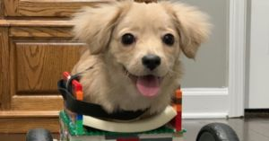 Abandoned Disabled Pup Gets Lego Wheelchair Designed By 12-Year-Old Boy