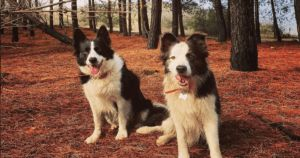 Border Collies Working To Replant Forests Destroyed By Wildfire