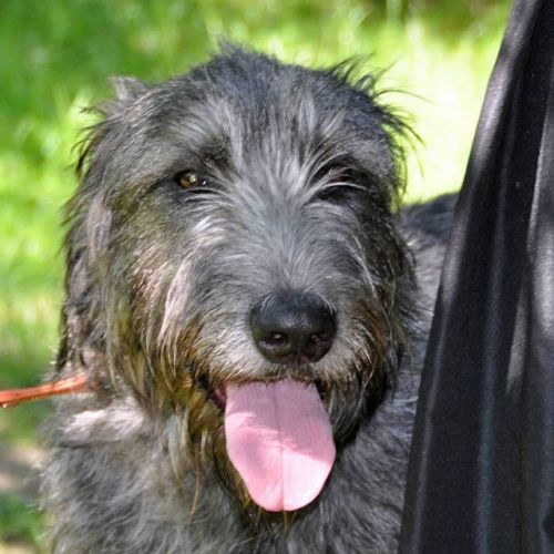 Irish Wolfhound Breed Information Guide: Quirks, Pictures, Personality & Facts