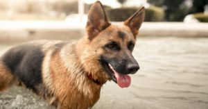 Is Your German Shepherd Susceptible to Allergies? Breed-Specific Info About These Courageous and Protective Dogs