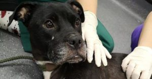 Injured Mama Dog Abandoned In Watery Ditch Thanks Rescuers With Endless Kisses
