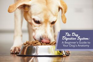 The Dog Digestive System: A Beginners Guide to Your Dog's Anatomy