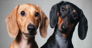 Is Your Dachshund Susceptible to Allergies? Breed-Specific Info About the Boldest of Breeds