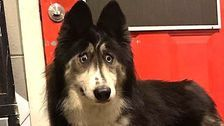 Goofy-Eyed Husky Rejected By Breeder Finds Love And Internet Stardom