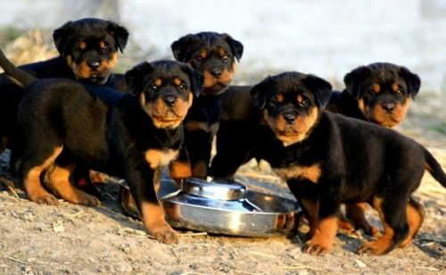 Rottweiler Food: Aim For The Perfect Balance For Your Puppy
