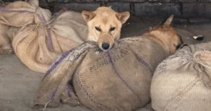 Nagaland, India Bans Dog Meat Trade, Saving Thousands Of Dogs