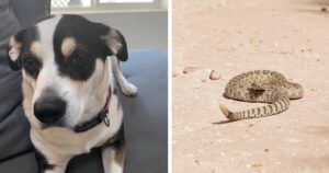Dog Tragically Dies At Home After Initially Surviving Rattlesnake Bite