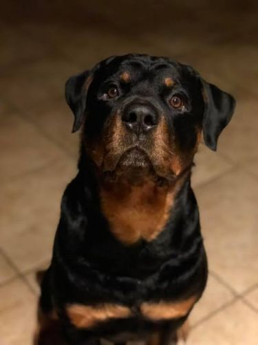 What Does The Changes In The Temperament Of A Rottweiler Mean?