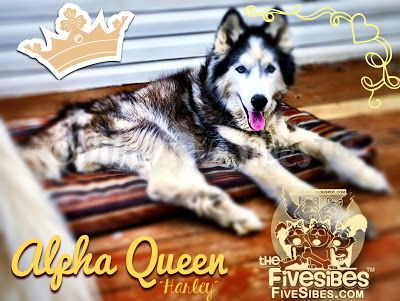 Fit For Our FiveSibes Alpha Queen: Celebrating Harley's 14½ Birthday