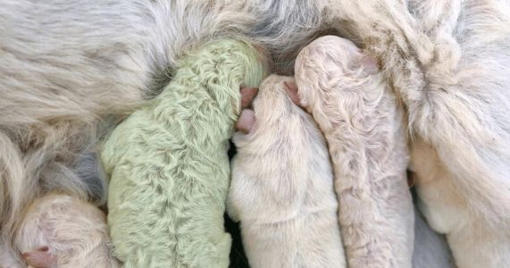 Green Puppy Named Pistachio Brings Luck To His Family