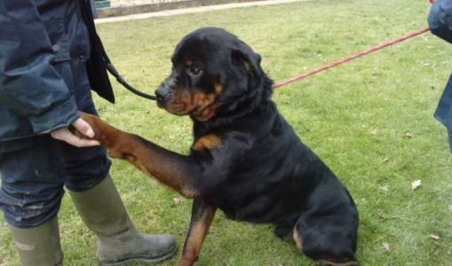 Struggling To Keep Your Rottweiler Healthy? Here Are 5 Exercises You Can Do Together
