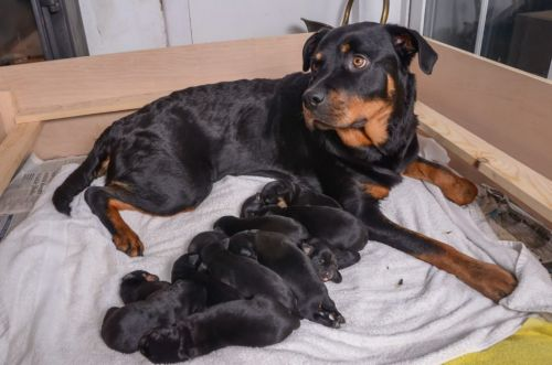 Rottweiler Gives Birth to 15 Puppies